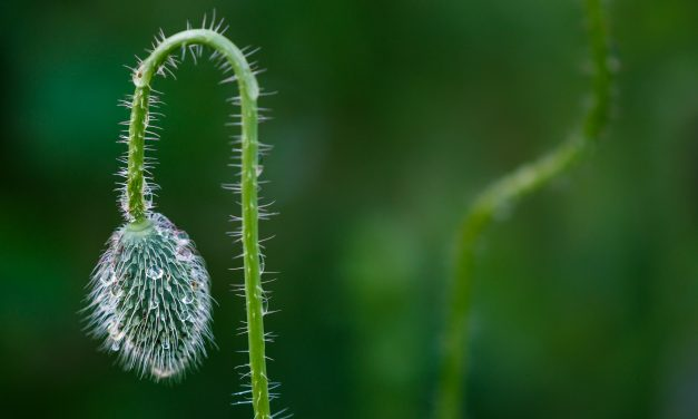 A Pretty Poppy Pod Picture