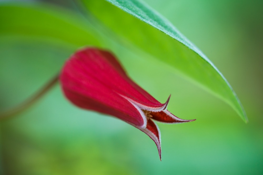 Scarlet Leatherflower