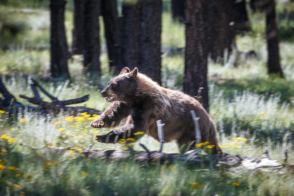 Black bear running and jumping over log, Vermejo Park Ranch, New Mexico, USA.