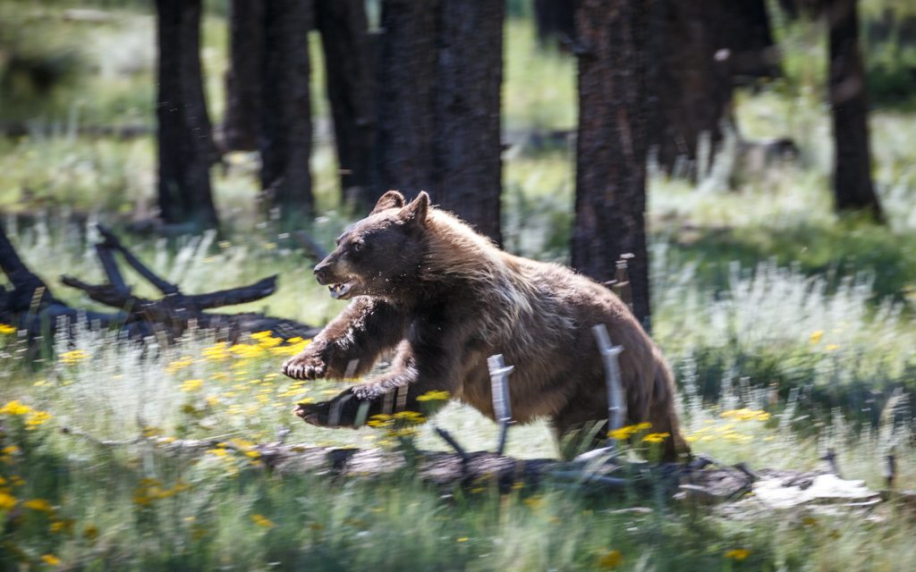 Black Bear Image in Outdoor Life