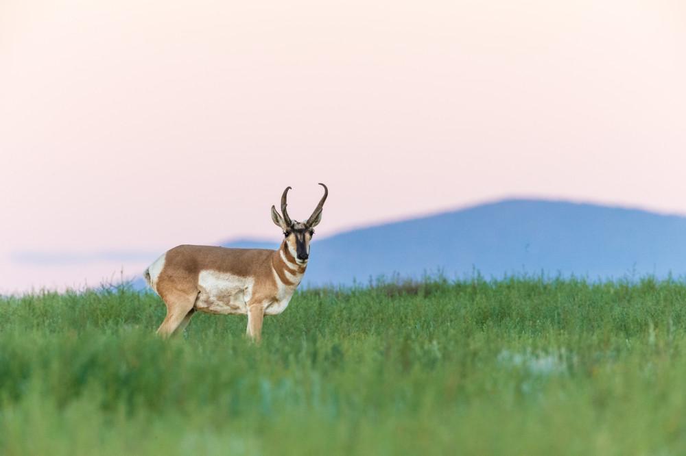Pronghorn at Dawn