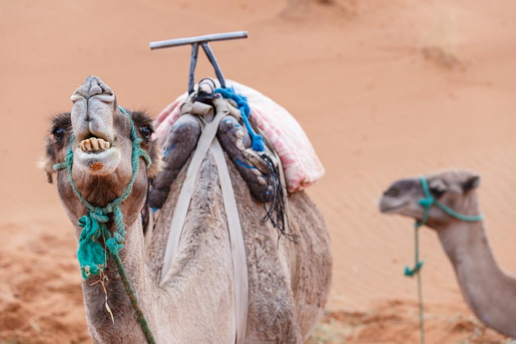 Camels Portrait