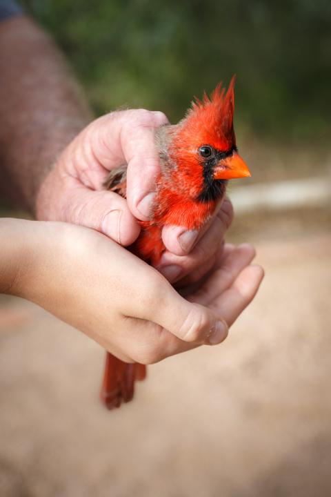 Bird Banding Cardinal