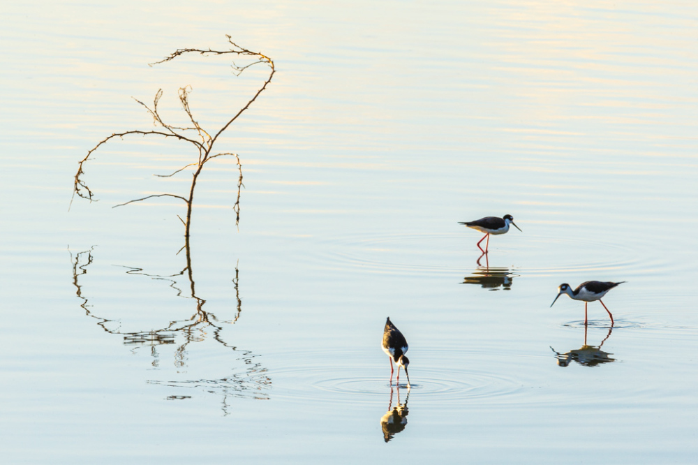 Black-necked Stilts in Pond