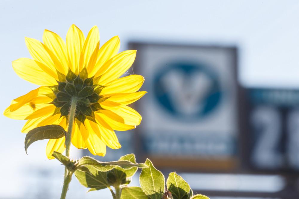Sunflowers on Blackland Prairie