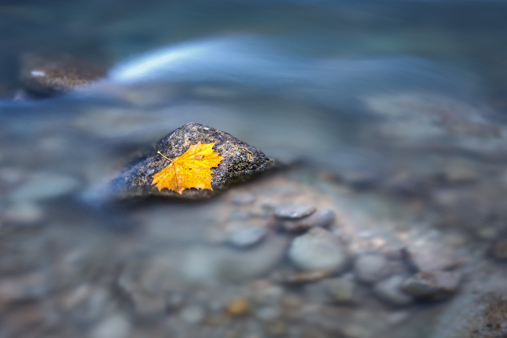 Autumn leaf on rock in Guadalupe River, James Kiehl River Bend Park, Comfort, Texas USA