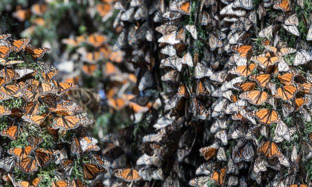 Monarchs in Tree