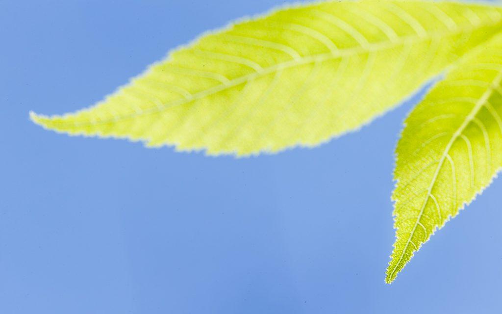 Buckeye Leaves
