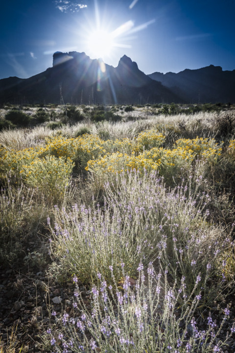 Sun and lens flare above Chisos Mountains and backlit spring wildlflowers, Big Bend National Park, Texas, USA.