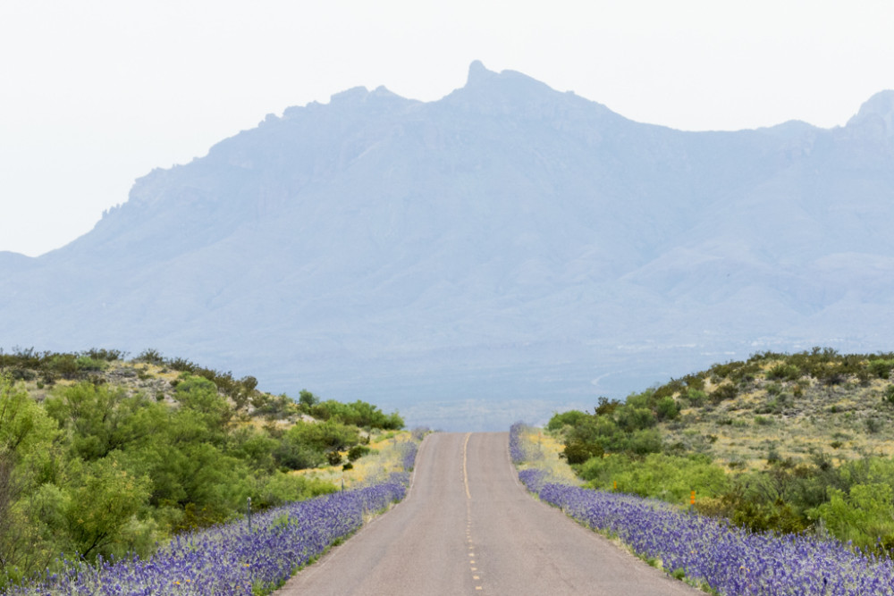 Bluebonnets on Road to Chisos Mountains