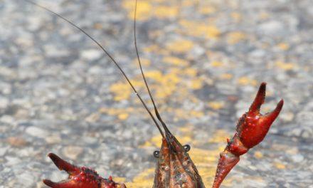 Crawfish with Jazz Hands