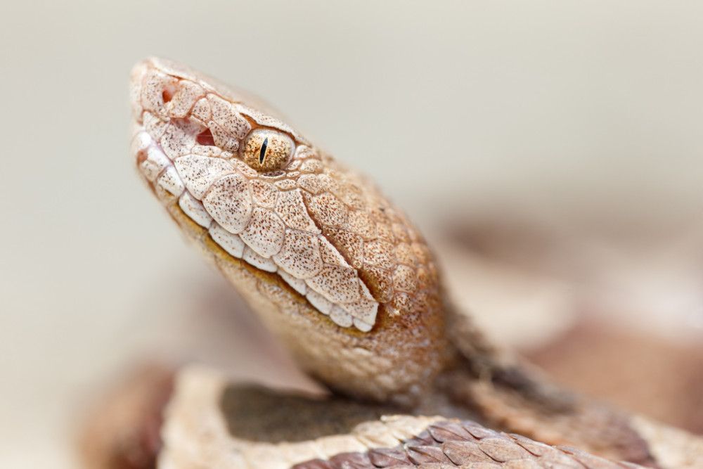 Portrait of copperhead snake near Little Lemon Lake, Great Trinity Forest, Dallas, Texas, USA