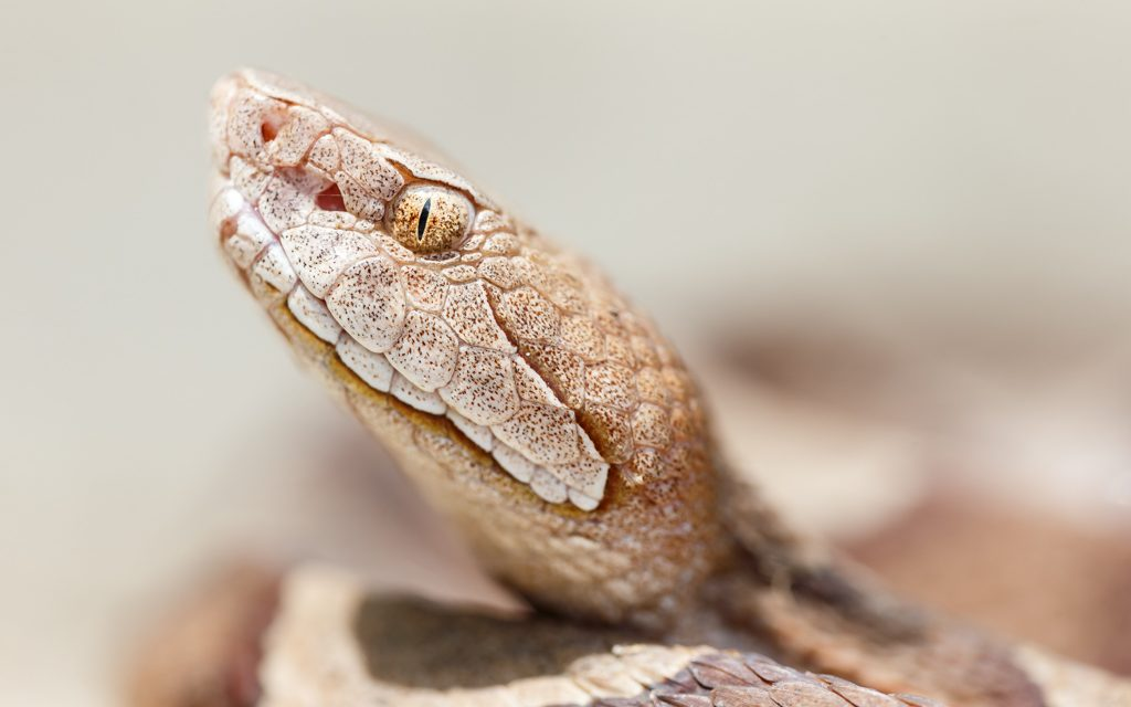 Copperhead Portrait