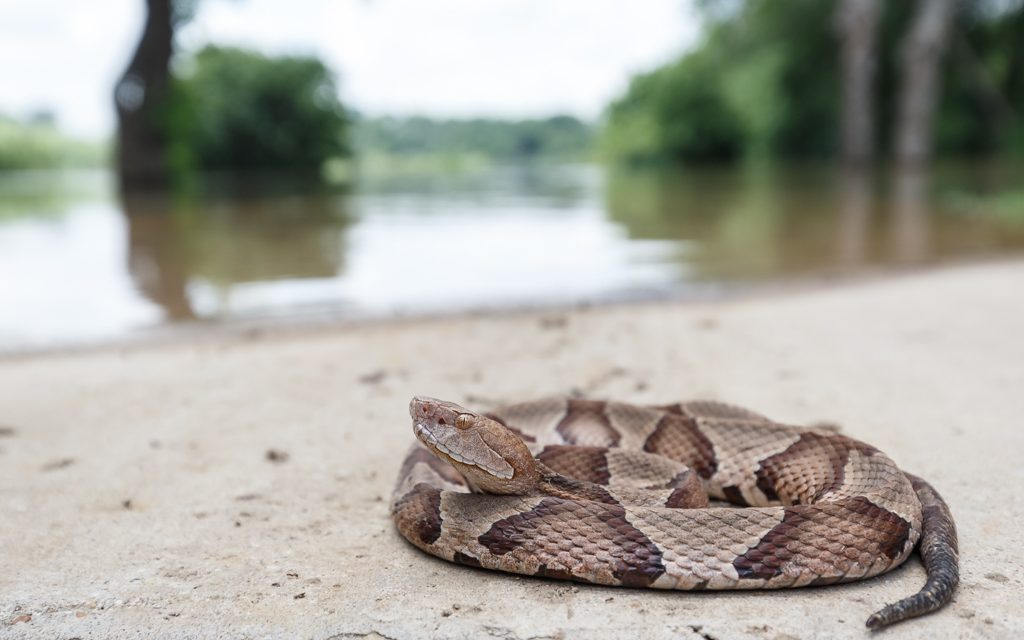Copperhead on Flooded Trail