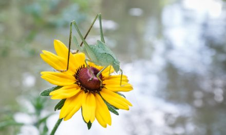 Katydid and Coneflower Above the Flood