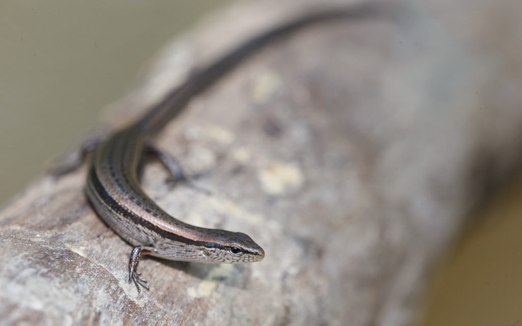 Photo of the Day – Skink above Floodwaters
