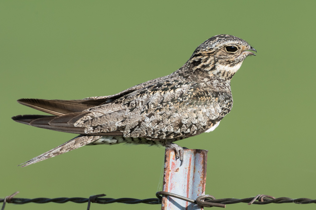 Common nighthawk on fence post,  Flint Hills,  Kansas, USA.