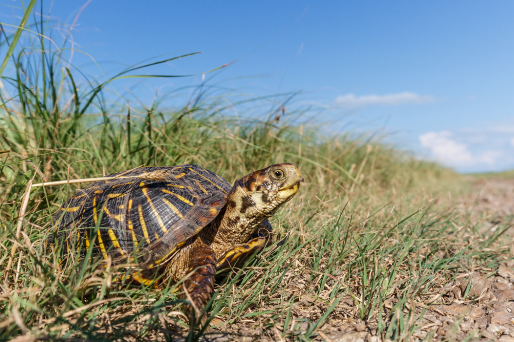 Ornate Box Turtle (Terrapene ornata) in prairie grasses Flint Hills, Kansas, USA. Tentative ID