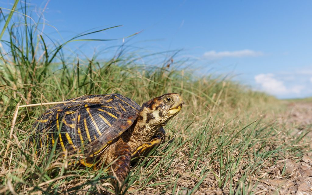 Prairie Turtle
