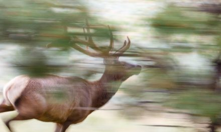 Running Elk Abstract