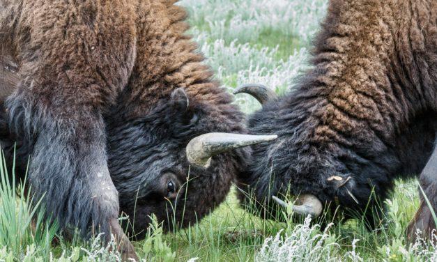 Tussling Bison