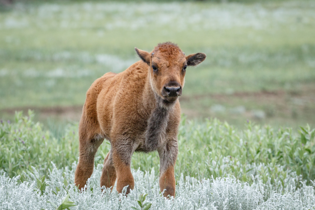Bison calf in sage, Vermejo Park Ranch, New Mexico, USA.