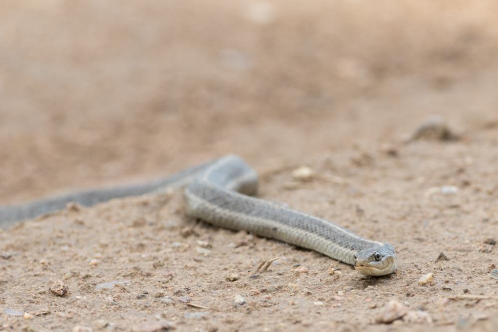 Western terrestrial garter snake (Thamnophis elegans), Vermejo Park Ranch, New Mexico, USA.