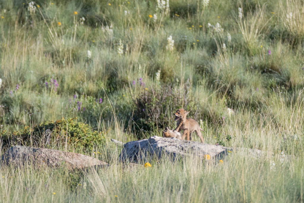 Coyote pups at play on rock, Vermejo Park Ranch, New Mexico, USA.