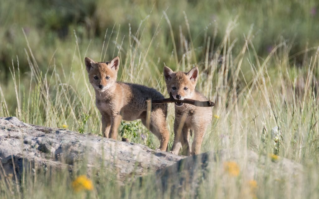 Coyotes Pups at Vermejo (and Rare Chances)