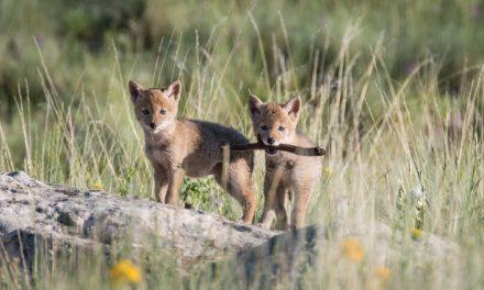 Coyotes Pups at Vermejo (and Rare Chances)