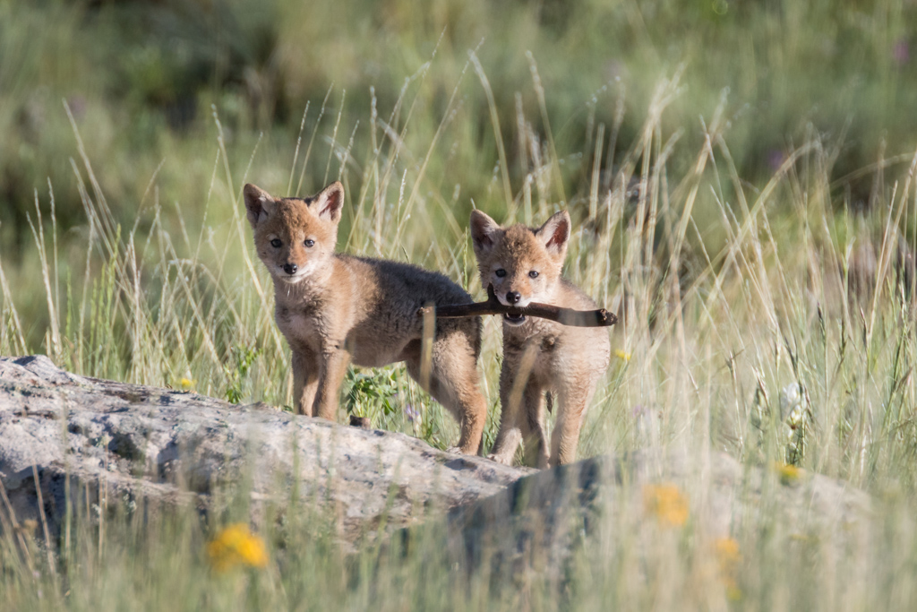 Coyote pups at play with stick, Vermejo Park Ranch, New Mexico, USA.