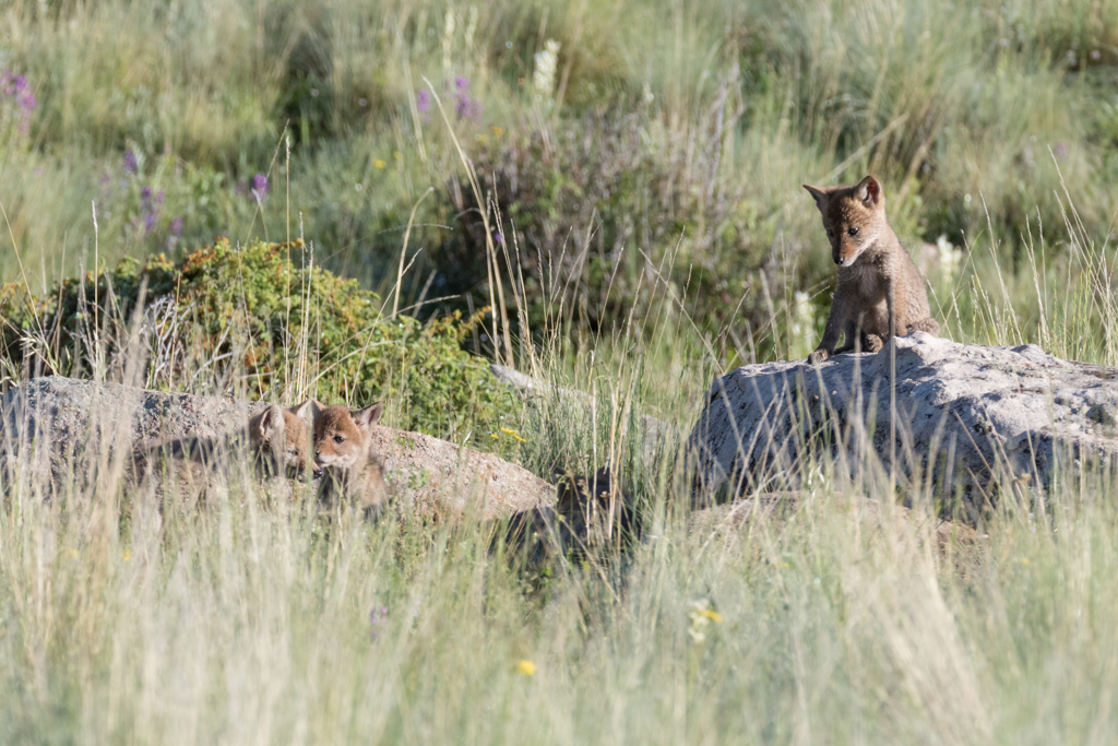Coyote pups on rock near den, Vermejo Park Ranch, New Mexico, USA.