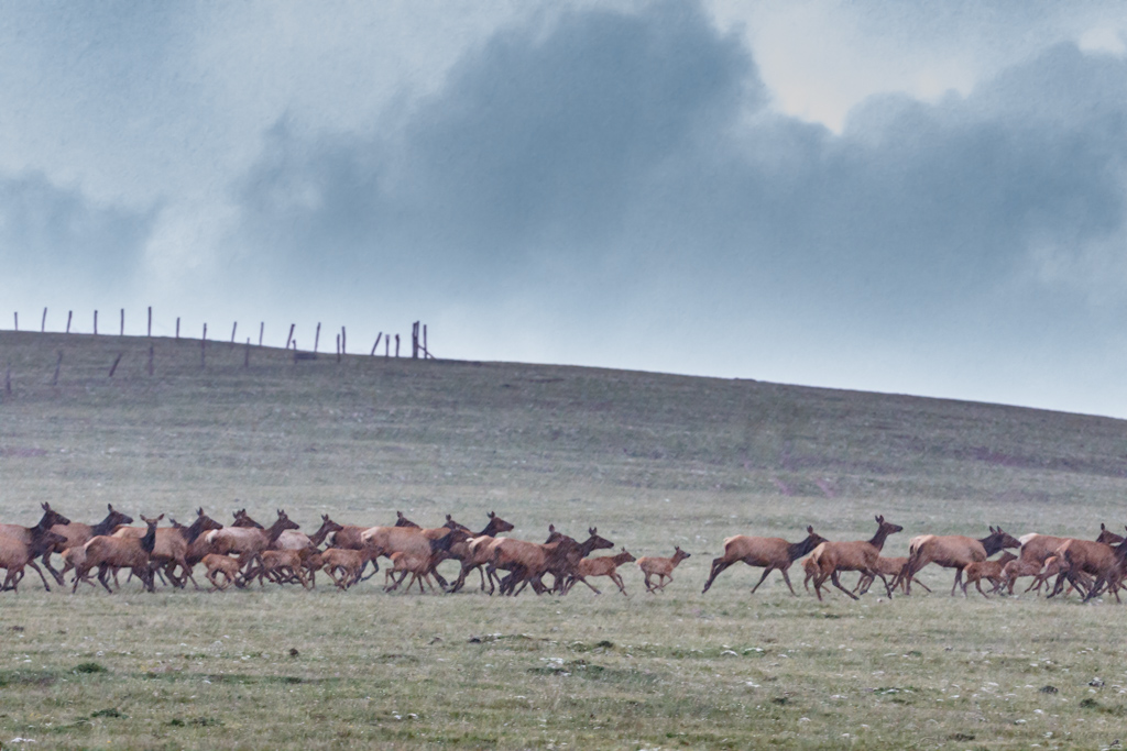 Elk herd running across mountainabove timberline (12,00 feet) at Vermejo Park Ranch, Colorado, USA. Park headquarters is in New Mexico but ranch spans across both states.