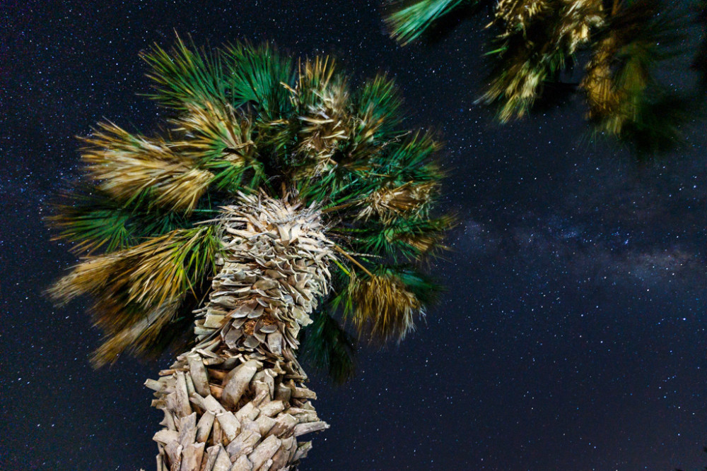 Stars over palm trees, Welder Wildlife Refuge, Sinton, TX, USA.
