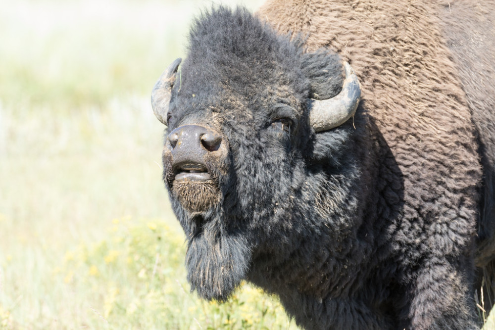 Bison bull sniffing estrus from nearby cows during mating season, Vermejo Park Ranch, New Mexico, USA.