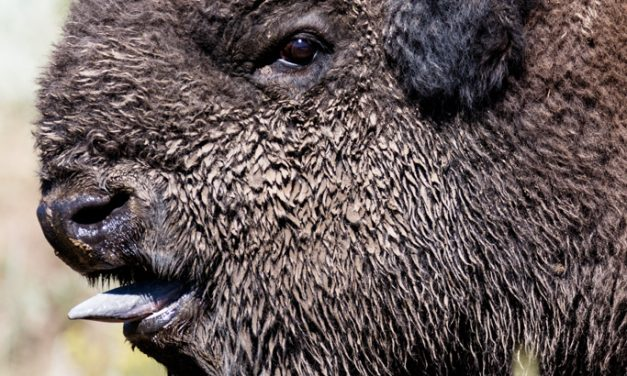 Bison Bulls Looking for Love