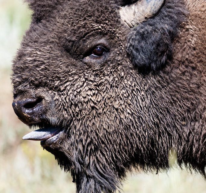 Bison Bulls Looking for Love