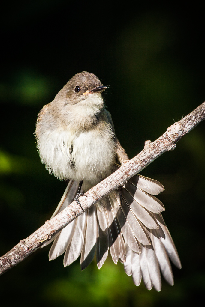 "Eastern phoebe, ""Secret Bird Pond"" near Trinity River Audubon Center, Great Trinity Forest, Dallas, Texas, USA."