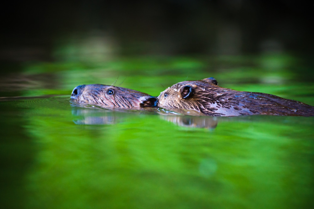 Juvenile beaver on adult's back, Trinity River Audubon Center, Dallas, TX.
