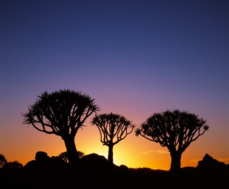 Kokerbooms at Sunset