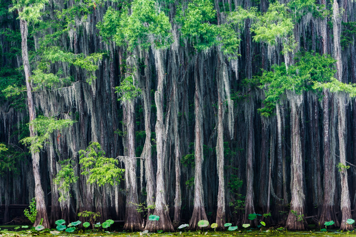 Cypress trees. Caddo Lake, Texas.