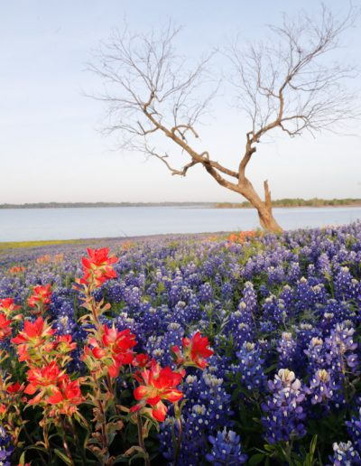 Lone Tree and Field of Indian Paintbrush and Bluebonnets