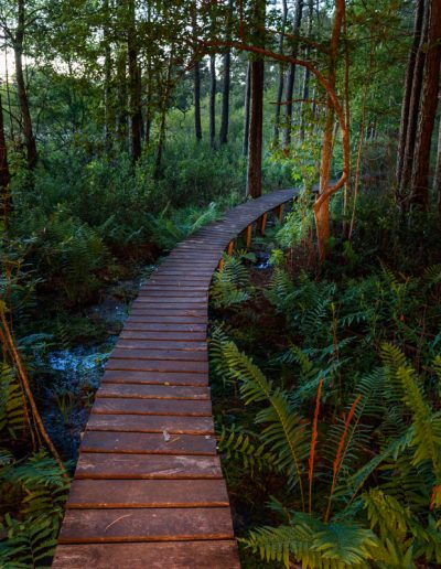 Boardwalk Through Ferns and Wetland Bog