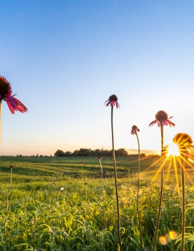 Sunset on Black Samson Coneflowers inBlackland Prairie
