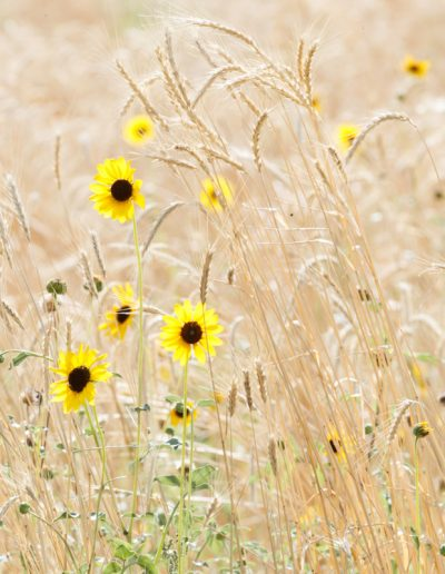 Sunflower in Grasses