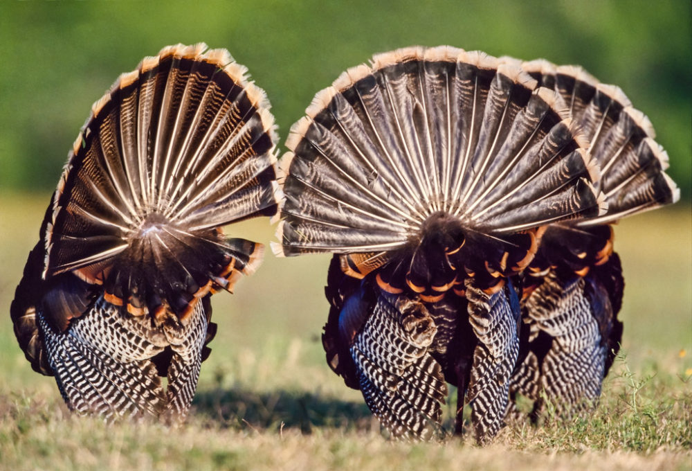 Tailfeathers of three strutting Rio Grande turkeys (Meleagris gallopavo intermedia), Yturria Ranch, South Texas, USA.