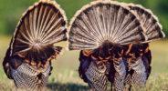 Tailfeathers of three strutting Rio Grande turkeys (Meleagris gallopavo intermedia), Yturria Ranch, South Texas, USA.