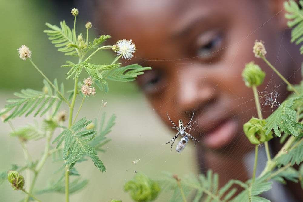 Girl from summer camp examining spider and web in prairie, Dogwood Canyon Audubon Center, Cedar Hill, Texas, USA.
