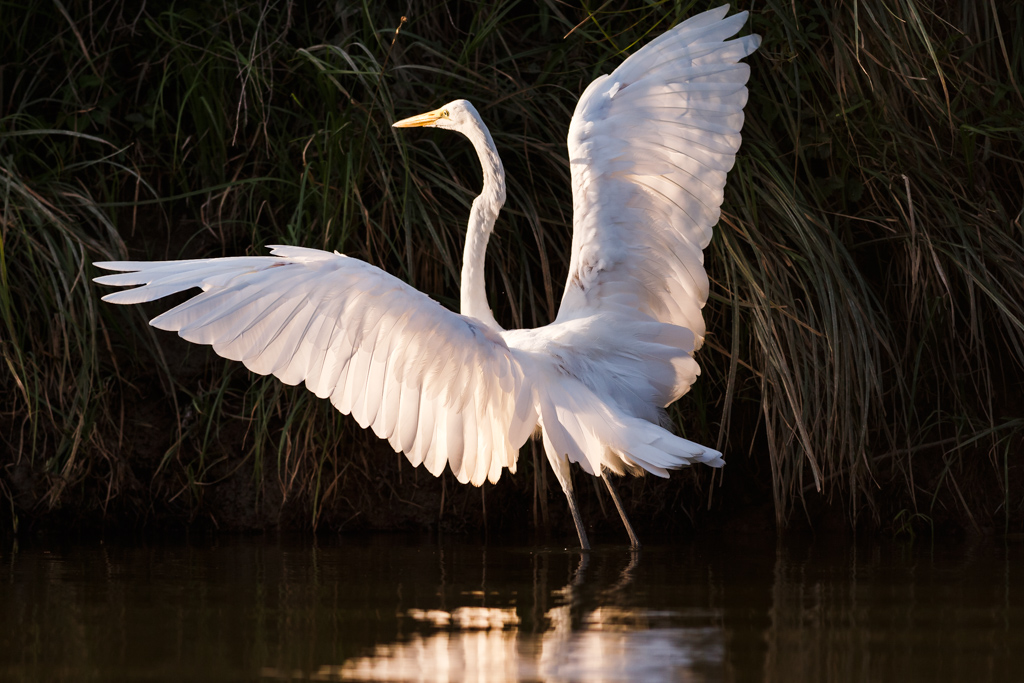 Great Egret on River Bank