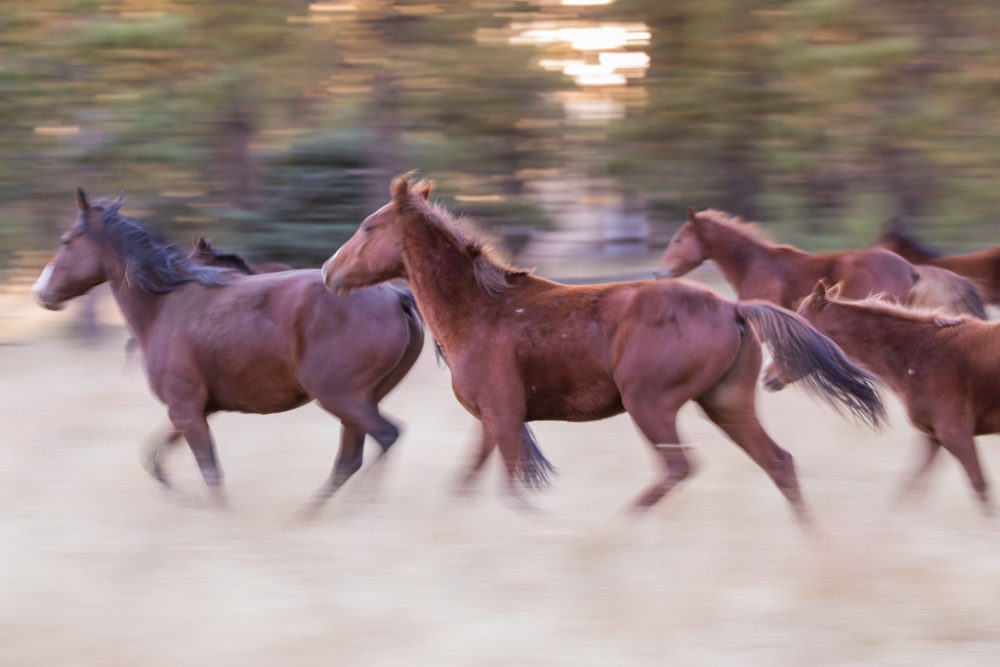 Wild horses (feral) running near Canadian River, Vermejo Park Ranch, New Mexico, USA. Horses were released from Catskill, now a ghost town, in the early 1900s and have lived wild since.